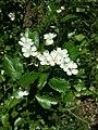 Crataegus laevigata (subsp. laevigata) sl27.jpg