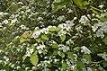 Crataegus pedicellata EDA 9044.jpg