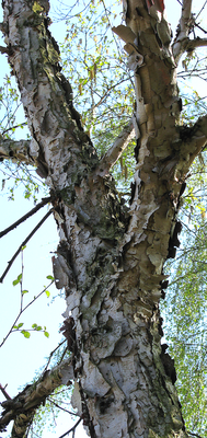 Creamy Bark Birch (Betula costata).PNG