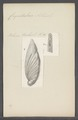 Crepidulina astacoli - - Print - Iconographia Zoologica - Special Collections University of Amsterdam - UBAINV0274 113 07 0010.tif