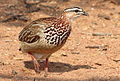 Crested Francolin, Dendroperdix sephaena at Borakalalo National Park, South Africa (9937756414).jpg