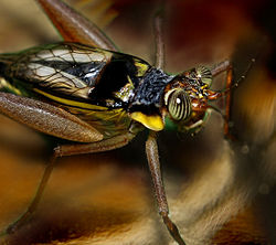 Cricket (insect) - Simple English Wikipedia, the free ...