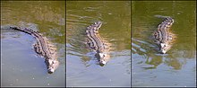 Three images of a crocodile in the water at different stages of swimming sequence as it propels itself with its tail