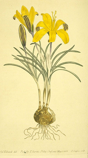 Pathetic fallacy - A yellow Crocus angustifolius known as Cloth-of-gold crocus. (Curtis's Botanical Magazine, 1803)