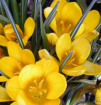 Crocus vernus yellow vdg.jpg