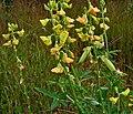 Crotalaria quinquefolia W IMG 2175.jpg