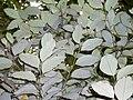 Cryptocarya rigida leaf underside.JPG