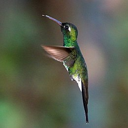 Cuban emerald (Chlorostilbon ricordii ricordii) male in flight cr.jpg