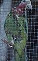 Cuban parrot at Nassau (38154621774).jpg