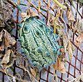 Cucumis metuliferus, a, Pietersburg.jpg