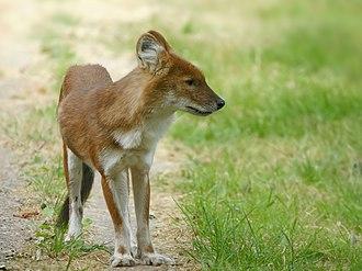 Ussuri dhole - Ussuri dhole at Port Lympne Wild Animal Park, Kent, United Kingdom.