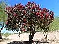 Cylindropuntia imbricata, Tree Cholla, Spring at the Mayo Clinic, North Phoenix, AZ, 2013 - panoramio.jpg
