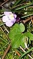 Cymbalaria muralis 99505758.jpg