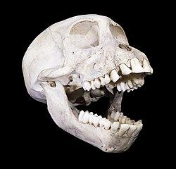 Crâne de Babouin Cynocéphane