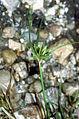 Cyperus compressus NRCS-1.jpg