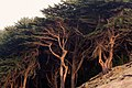 Cypress Trees, Land's End, San Francisco (31448381020).jpg