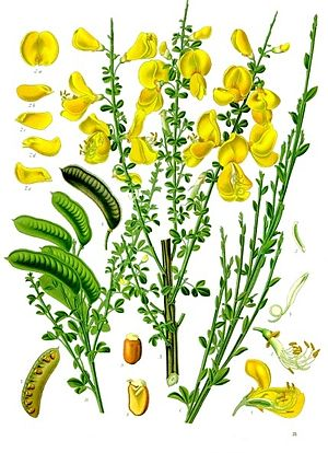 Cytisus scoparius - Illustration of Cytisus scoparius from Köhler's Medicinal Plants (1887)