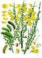 Cytisus scoparius - Köhler–s Medizinal-Pflanzen-200.jpg