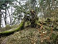 Dąb Wolinian 1 - panoramio.jpg