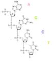 DNA polinukleotido.PNG