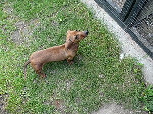 Category:Dachshund