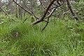 Dactylorhiza praetermissa subsp. osiliensis1.jpg