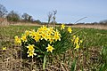 Daffodils show it's Spring - geograph.org.uk - 1806548.jpg