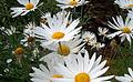 Daisies (Argyranthemum frutescen).jpg