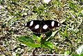 Danaid Eggfly male. Hypolimnas Misippus - Flickr - gailhampshire.jpg