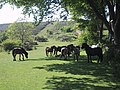 Dartmoor ponies seeking a shady area - geograph.org.uk - 1013661.jpg