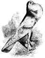 Darwin Domestic 118.png