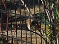 Daurian Redstart Female ジョウビタキ (242130915).jpeg