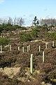 Daviot Woods. Recently planted deciduous saplings. - geograph.org.uk - 743675.jpg