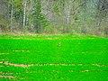 Deer in the Field - panoramio.jpg