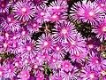 Delosperma pink Ice Plant 4.jpg