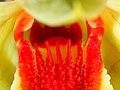 Dendrobium suzukii (keels on the lip) (41423861014).jpg