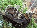 Dendrocollybia racemosa 64752.jpg