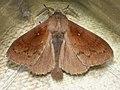 Dendrolimus pini ♂ - Pine-tree lappet (male) - Сосновый шелкопряд (самец) (26133866057).jpg