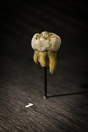 Denisovan - Replica of the molar of Denisova. Part of the roots was detroyed to study the mtDNA. Their size and shape indicate it is neither neanderthal nor sapiens.