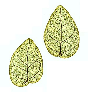 Ficus pumila - Nature printed leaves, showing their shape and venation