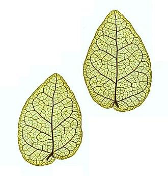 Ficus pumila - Image: Denkschriften der Kaiserlichen Akademie der Wissenschaften Mathematisch Naturwissenschaftlic he Classe (1858) (20665373299), Ficus pumila