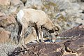 Desert bighorn (Ovis canadensis), Borrego Palm Canyon (24297122625).jpg