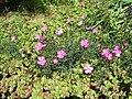 Dianthus graniticus02.jpg