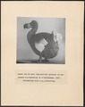 Didus ineptus - foto van model - 1935 - Print - Iconographia Zoologica - Special Collections University of Amsterdam - UBA01 IZ15600009.tif