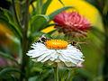 Die Strohblume, lat. Helichrysum bracteatum, Xerochrysum bracteatum, Bracteantha bracteata 10.jpg