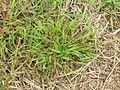 Digitaria violascens plant3 (7117464907).jpg