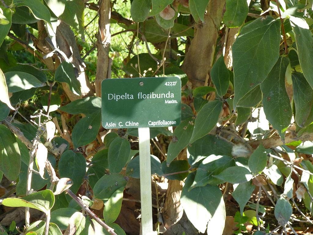 File dipelta floribunda jardin des plantes 02 jpg for Jardin 02