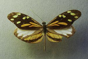 Dismorphia - Dismorphia amphione