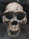 Dmanisi fossils D 2282 + D 211 (Replika).JPG