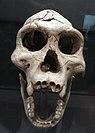 Dmanisi fossils D 2700 + D 2735 (Replika).jpg